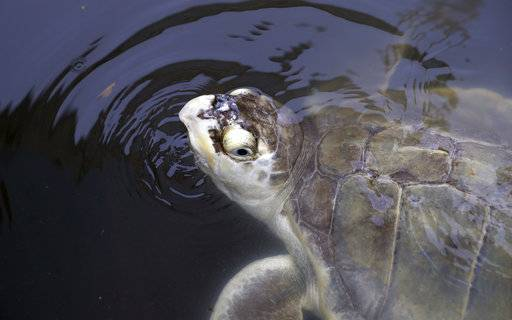A sea turtle that had been held at the Animal Rehabilitation Keep in Port Aransas, Texas, swims in a tank at the Sea Life Center, Saturday, Sept. 30, 2017, in Corpus Christi, Texas. About 30 sea turtles were transferred after Hurricane Harvey destroyed the facility in Port Aransas.