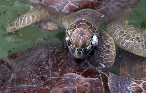 A sea turtle that had been held at the Animal Rehabilitation Keep in Port Aransas, Texas, swims in a tank at the Sea Life Center, Saturday, Sept. 30, 2017, in Corpus Christi, Texas. About 30 sea turtles, many awaiting surgery for tumors, were transferred after Hurricane Harvey destroyed the facility in Port Aransas.