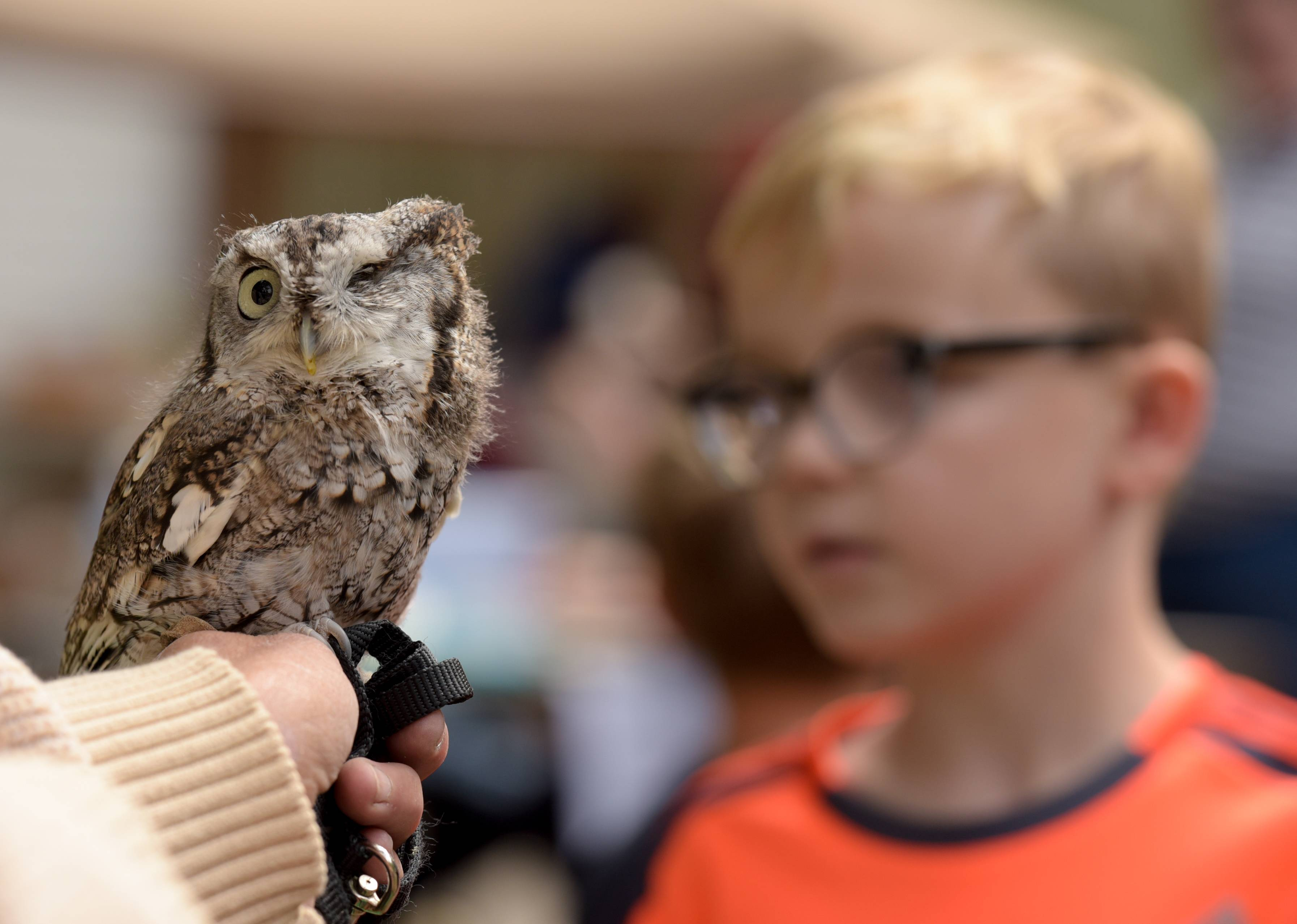 One-eyed eastern screech owl Zephyr is a resident at the Fox Valley Wildlife Center. The owl was on display Sunday during an open house at the Elburn facility.
