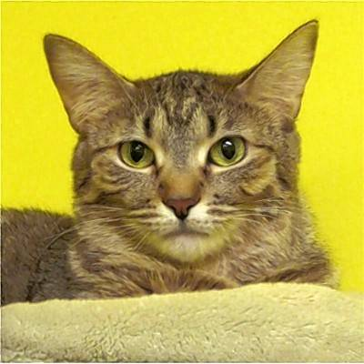 Joy is a beautiful, brown tabby with green eyes. One look at Joy and you will want to cuddle with her. She loves humans, being brushed and all the attention she can get. Sit on the couch in her room and she will be the first to come over by you looking for attention. She just wants to be loved.