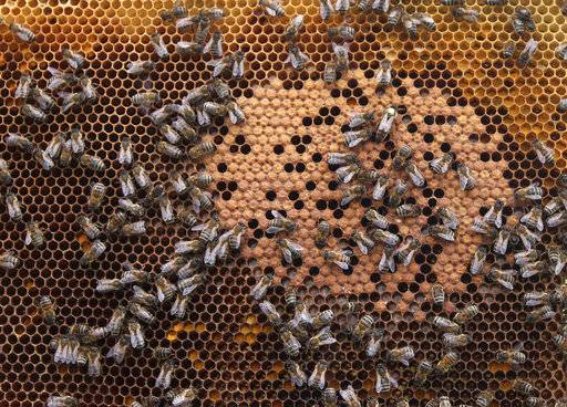 FILE - In this April 15, 2013 file photo, honey bees and the queen (with yellow dot) sit on a honeycomb in Wezembeek-Oppem near Brussels. A new study published Thursday, Oct. 5, 2017, in the journal Science found something in the world's honey that is not quite expected or sweet: the controversial pesticides called neonicotinoids. Scientists say it is not near levels that would come close to harming humans, but it is a big worry for bees, which already are in trouble.