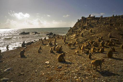 In this Wednesday, Oct. 4, 2017 photo, monkeys move about on Cayo Santiago, known as Monkey Island, in Puerto Rico. One of the first places Hurricane Maria hit in the U.S. territory Sept. 20 was Monkey Island, a 40-acre outcropping off the east coast that is one of the world's most important sites for research into how primates think, socialize and evolve.