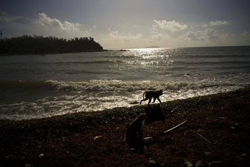 In this Wednesday, Oct. 4, 2017 photo, a monkey walks along the shore of Cayo Santiago, known as Monkey Island, in Puerto Rico, one of the world's most important sites for research into how primates think, socialize and evolve. About 100 macaque monkeys here have had their entire genetic makeup sequenced, and hundreds more have had at least some of their DNA analyzed.