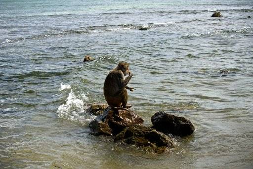 In this Wednesday, Oct. 4, 2017 photo, a monkey eats atop a rock off of Cayo Santiago, known as Monkey Island, in Puerto Rico, one of the world's most important sites for research into how primates think, socialize and evolve. The island's history as a research center dates to 1938, when the man known as the father of American primate science brought a population of Indian rhesus macaques to the United States.