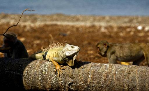 In this Wednesday, Oct. 4, 2017 photo, an iguana sunbathes as monkeys walk behind on Cayo Santiago, known as Monkey Island, in Puerto Rico, one of the world's most important sites for research into how primates think, socialize and evolve. In 1938, man known as the father of American primate science, Clarence Ray Carpenter, wanted a place with the perfect mix of isolation and free range, where the monkeys could be studied living much as they do in nature without the difficulties of tracking them through the wild.