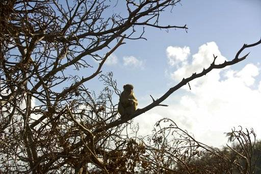 In this Wednesday, Oct. 4, 2017 photo, a monkey rests on a tree branch on Cayo Santiago, known as Monkey Island, in Puerto Rico, one of the world's most important sites for research into how primates think, socialize and evolve. Since 1938, the 400 or so macaques have reproduced and expanded their numbers, becoming the world's most studied free-ranging primate population and something of a living library.