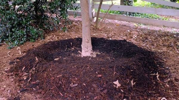 The Correct Method To Put Mulch Around A Tree Forms Rain Catching Dish Over