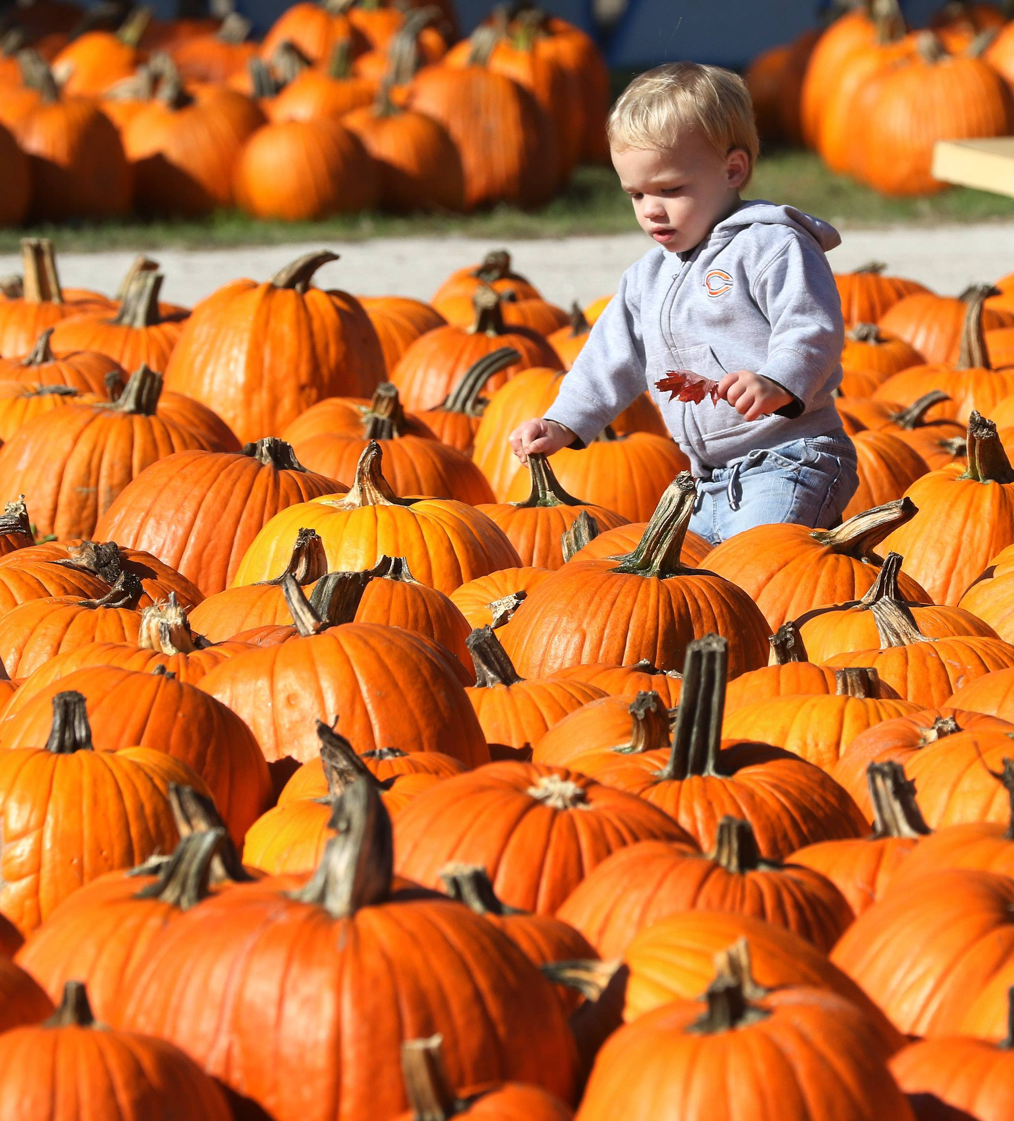 One-year-old Graham Petty of Arlington Heights walks among the pumpkins Monday during Pumpkinfest at Didier Farms in Lincolnshire. The festival runs through Oct. 30, with a corn maze, hayrides, a petting zoo, rides and lots of pumpkins.