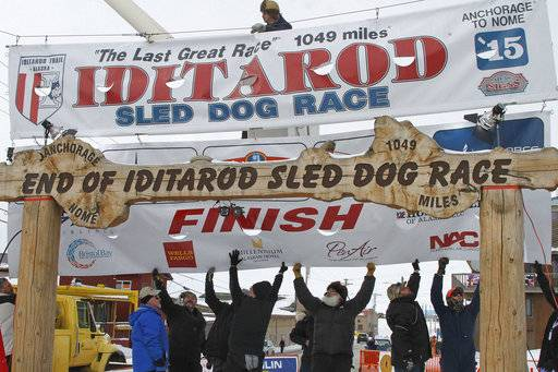 FILE - In this March 16, 2015, file photo, volunteers help raise the Iditarod finishers banner at the burled arch finish line in Nome, Alaska. For the first time in the history of the world's most famous sled dog race, several of the high-performance animals have tested positive for a prohibited drug, but race officials have refused to name the musher involved. The governing board said in a statement that several dogs tested positive for the opioid pain reliever Tramadol. (AP Photo/Mark Thiessen, File)