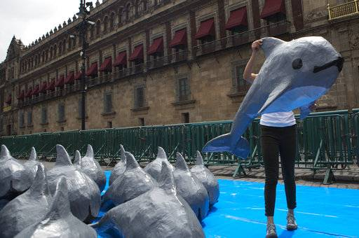 FILE - In this July 8, 2017 file photo, a young woman with the World Wildlife Fund carries a papier mache replica of the critically endangered porpoise known as the vaquita marina, during an event in front of the National Palace in Mexico City calling on the Mexican government to take additional steps to protect the world's smallest marine mammal. An international team of researchers captured the first endangered vaquita porpoise in the Gulf of California in an ambitious effort to catch and enclose the few remaining members of the species, but said on Thursday, Oct. 19, that they had to release the calf because it was too young. (AP Photo/Rebecca Blackwell, File)