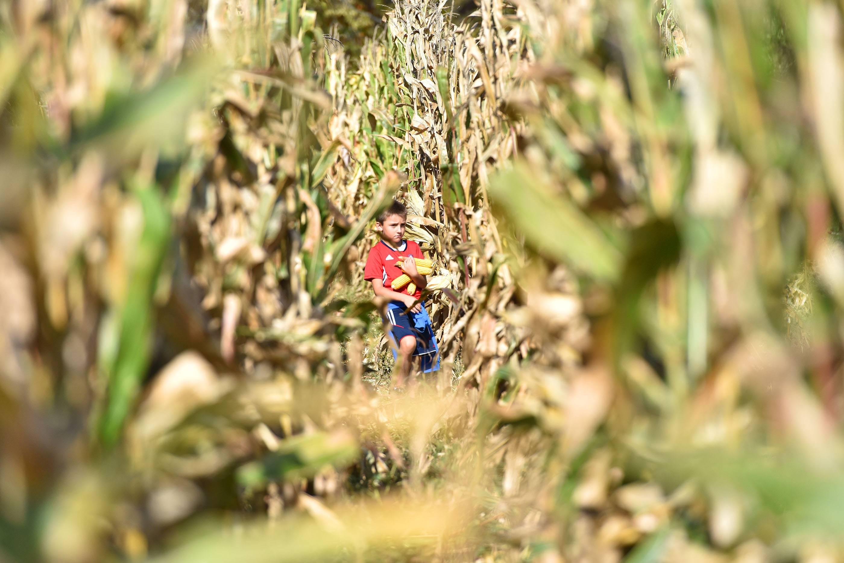 Nathan Skoric, 7, of Bartlett carries an armload of feed corn he just picked Saturday at the Kline Creek Farm near West Chicago.
