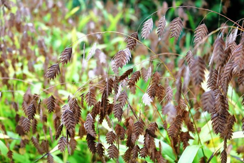 A tall grass for shade gardens for Tall ornamental grasses for shade