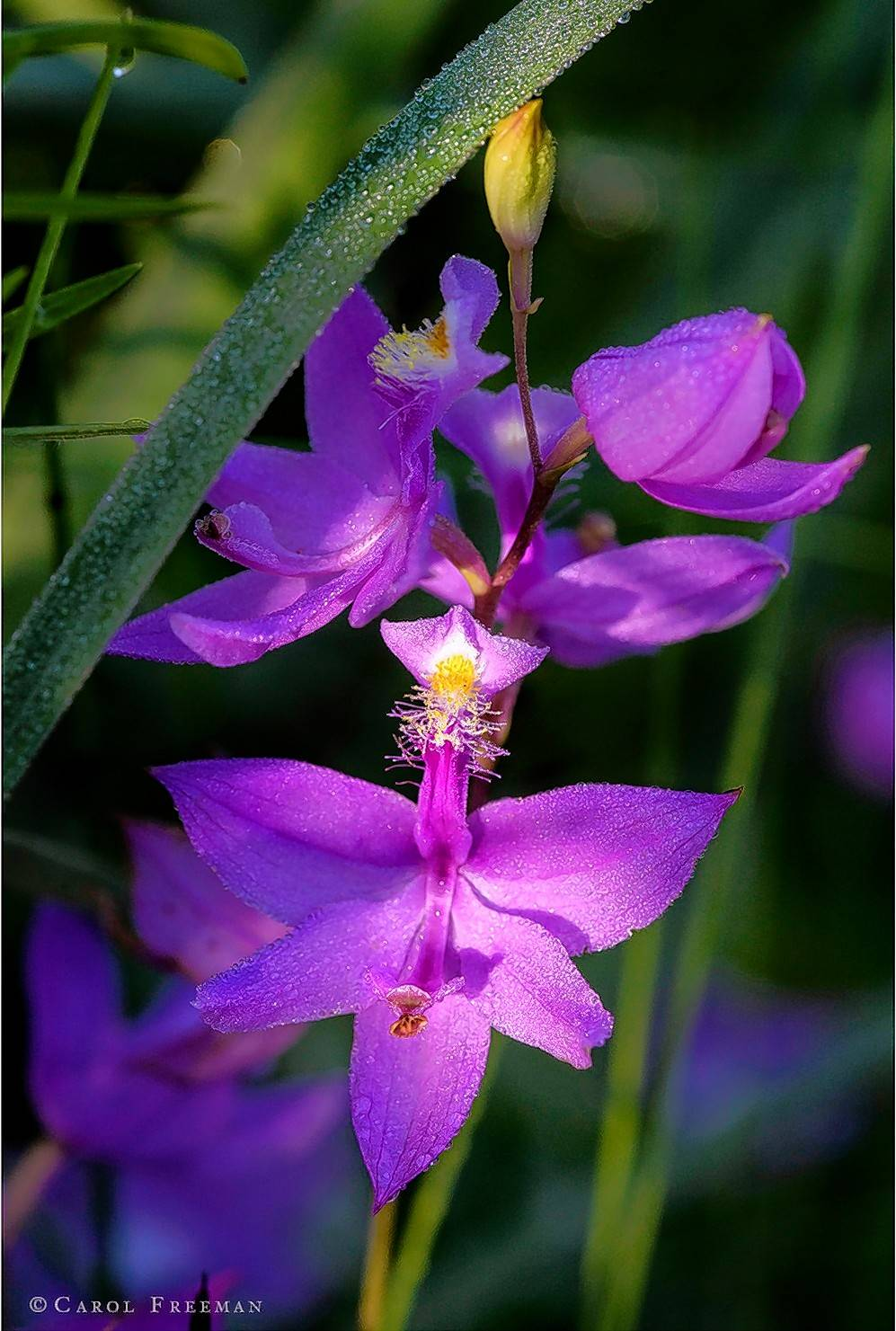 """Grass Pink Orchid"" is one of the works featured in ""Endangered Beauty,"" a nature photography exhibit featuring the work of Carol Freeman. It opens Sunday, Nov. 5."