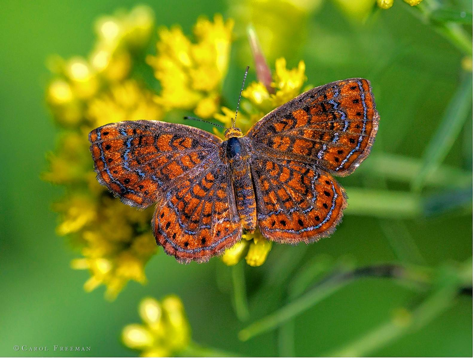 Carol Freeman's photo of a swamp metalmark butterfly at Bluff Spring Fen in Elgin.