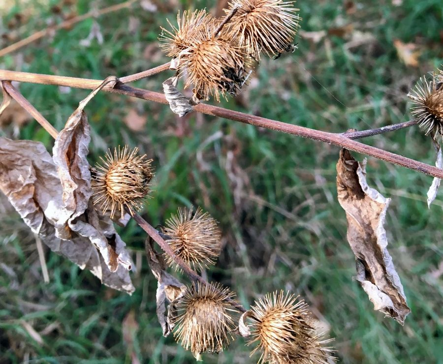 How burs disperse seeds in fall