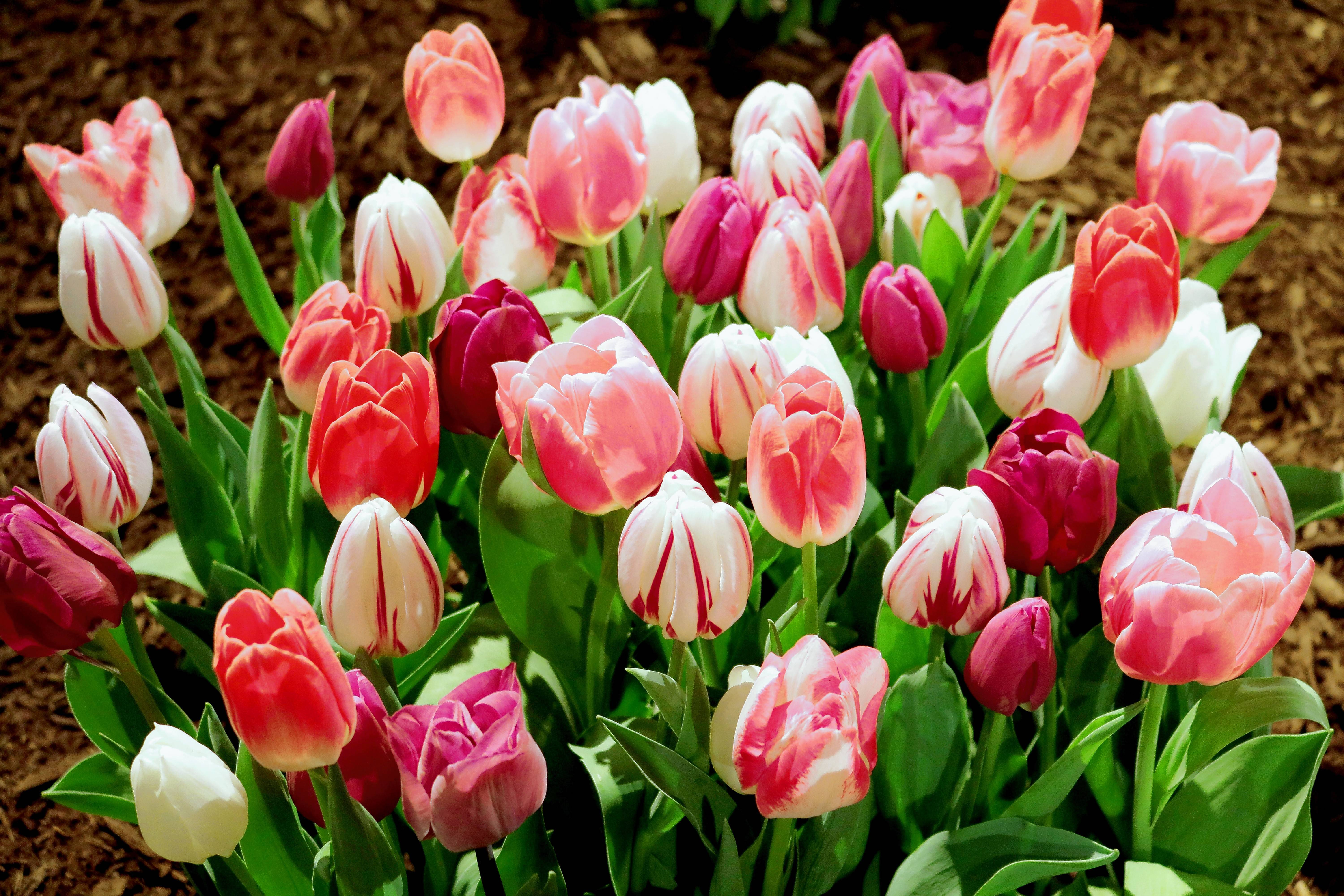 Tulips are available in a wide range of colors.