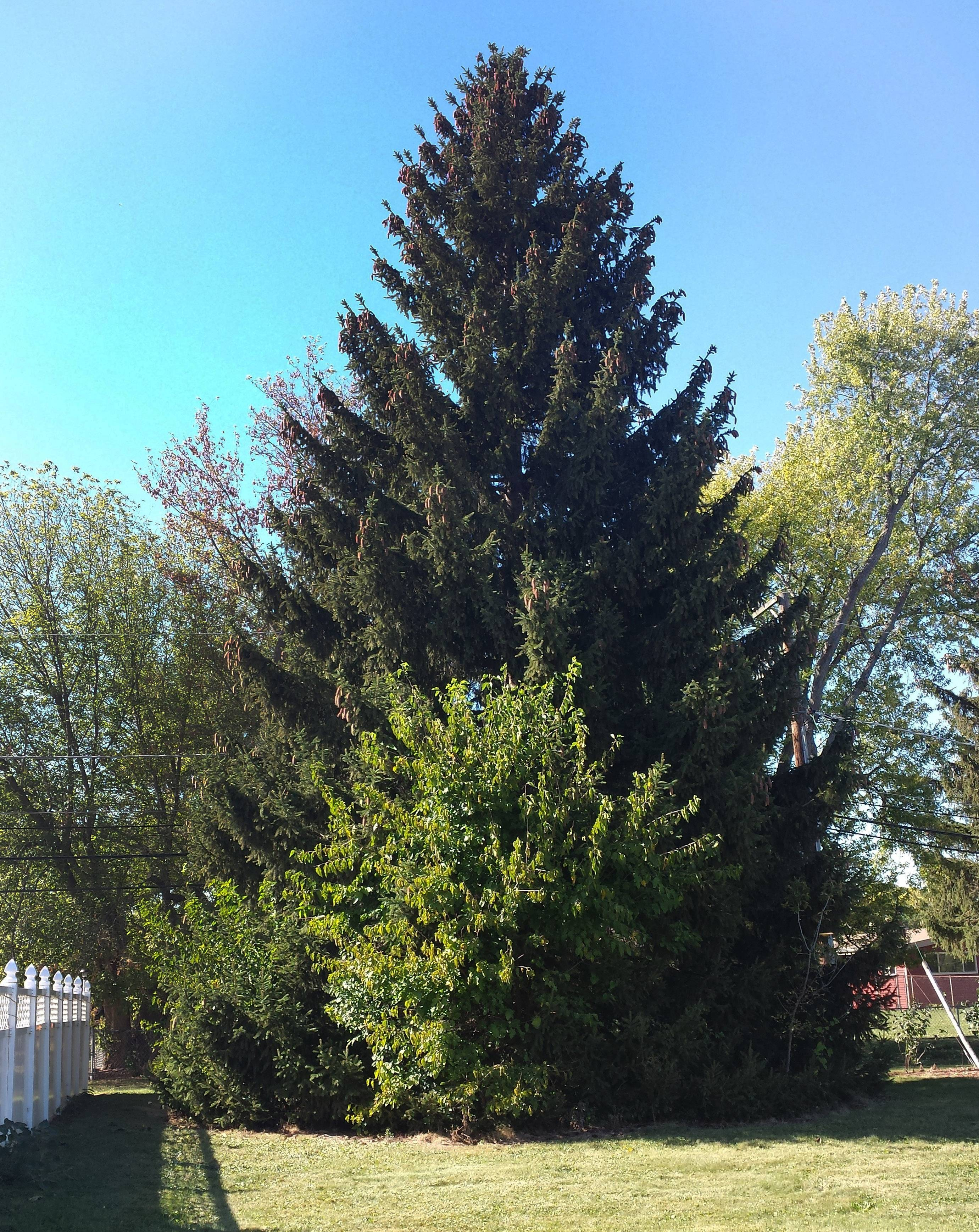 This is one of the photos Grayslake resident Ed Dorfler submitted of his 62-foot Norway spruce that was chosen to be Chicago's official Christmas tree. It will be decorated and lit up for the holidays at Millennium Park.