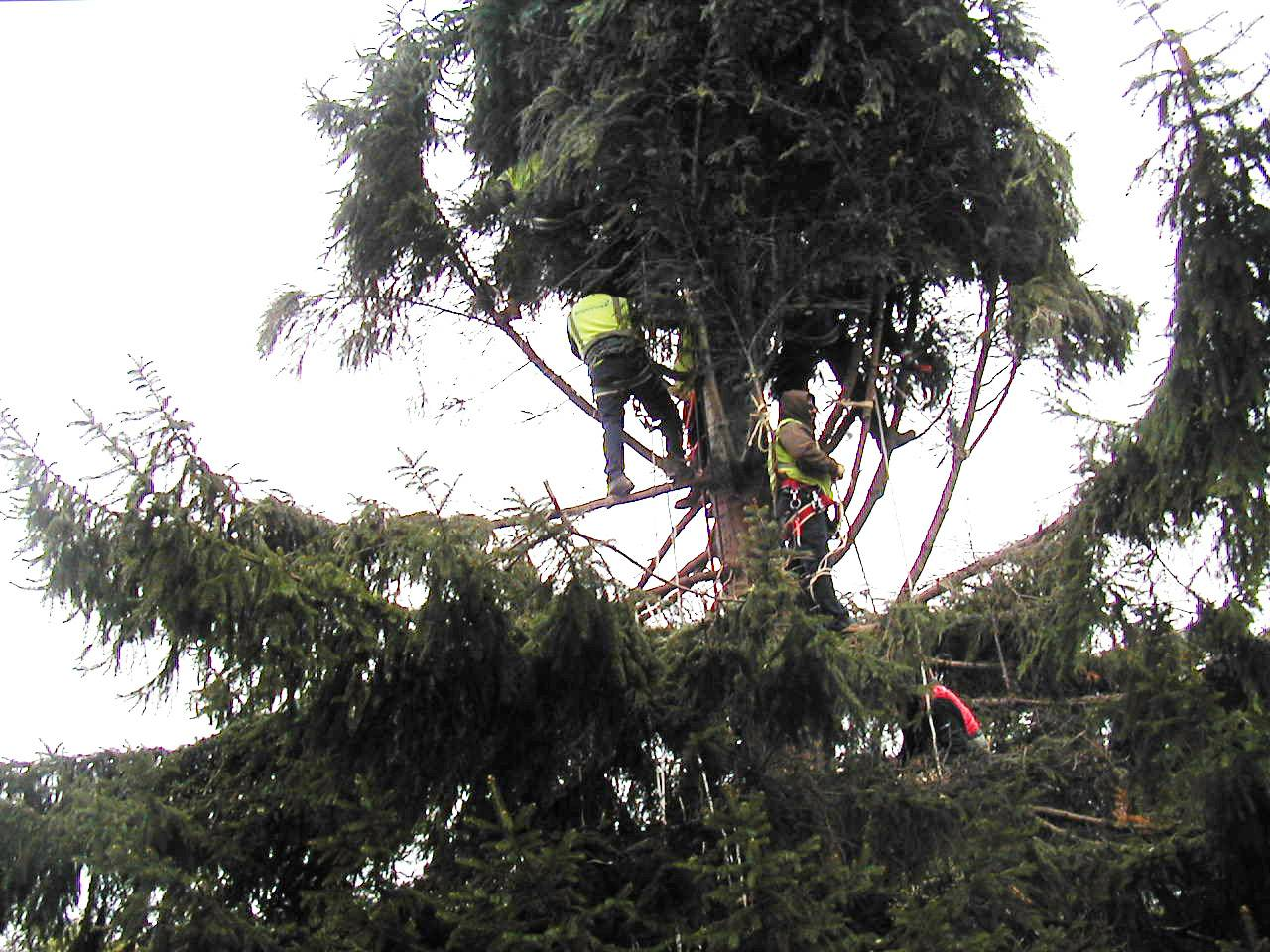 Crews work on Ed Dorfler's 62-foot Norway spruce in Grayslake. The tree was chosen as Chicago's official Christmas tree this year.