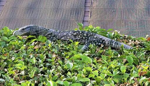 This Wednesday, Nov. 1, 2017 photo provided by J. Craig Willams shows a four-foot-long crocodile monitor, a lizard that can grow to eight feet long, sunning itself on a hedge in Williams' backyard in Riverside, Calif. It's a relative of the famous Komodo dragon, native to Papua New Guinea and Indonesia, and it's legal to own them in the California. It's currently in the custody of the Riverside County Department of Animal Services, and if the owner doesn't claim it, the monitor will be sent to a sanctuary for exotic animals. (J. Craig Williams via AP)