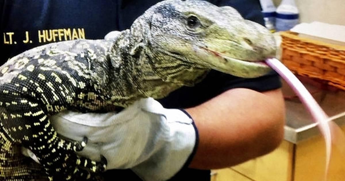 4-foot-long lizard found in Southern California backyard