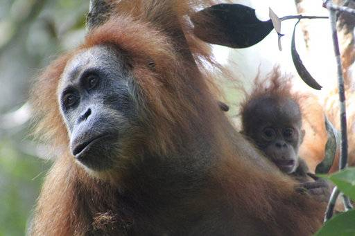 This undated photo released by the Sumatran Orangutan Conservation Programme shows a Tapanuli orangutan with its baby in Batang Toru Ecosystem in Tapanuli, North Sumatra, Indonesia. Scientists are claiming an isolated and tiny population of orangutans on the Indonesian island of Sumatra with frizzier hair and smaller heads are a new species of great ape. It's believed that there are no more than 800 of the primates that researchers named Pongo tapanuliensis, making it the most endangered great ape species. (James Askew/Sumatran Orangutan Conservation Programme via AP)