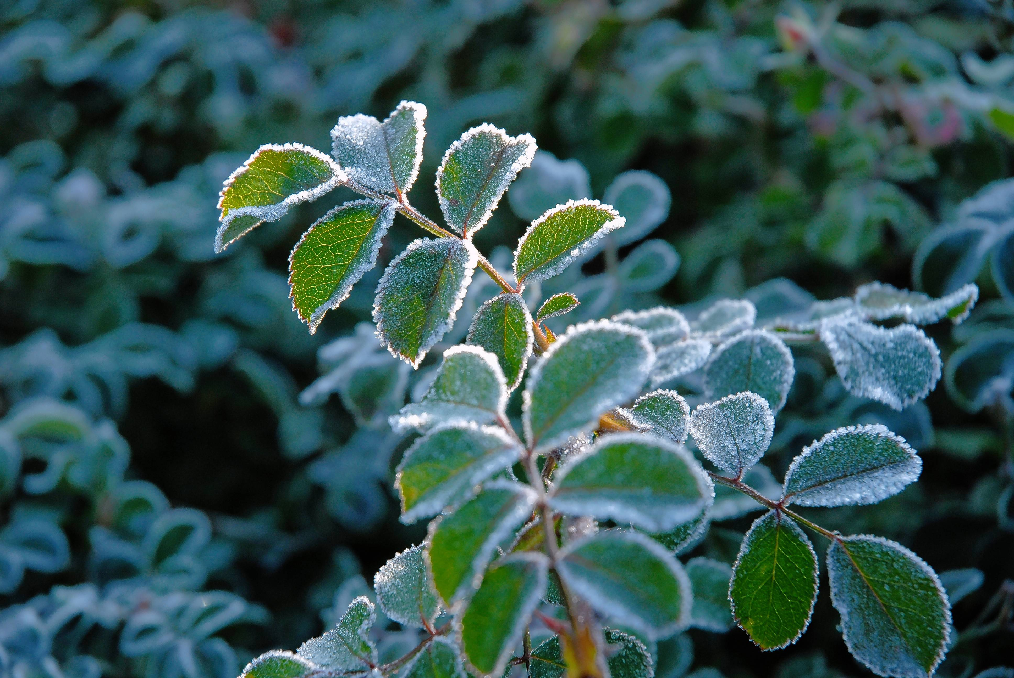 The telltale sign of winter's arrival is those cold mornings when frost forms on leaves and lawns.