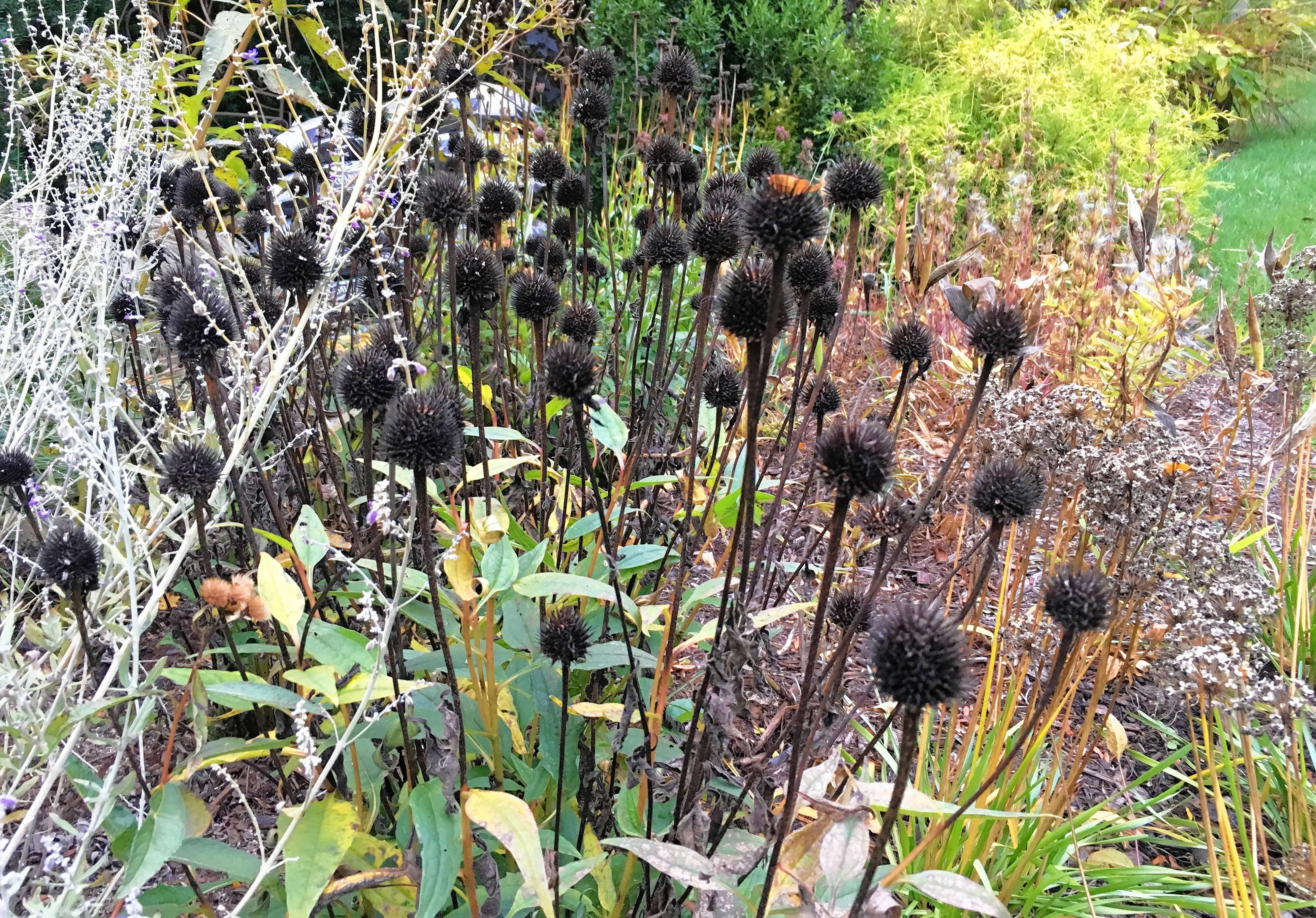Seed heads provide food for birds that will bring their color and songs to your garden in fall and winter.