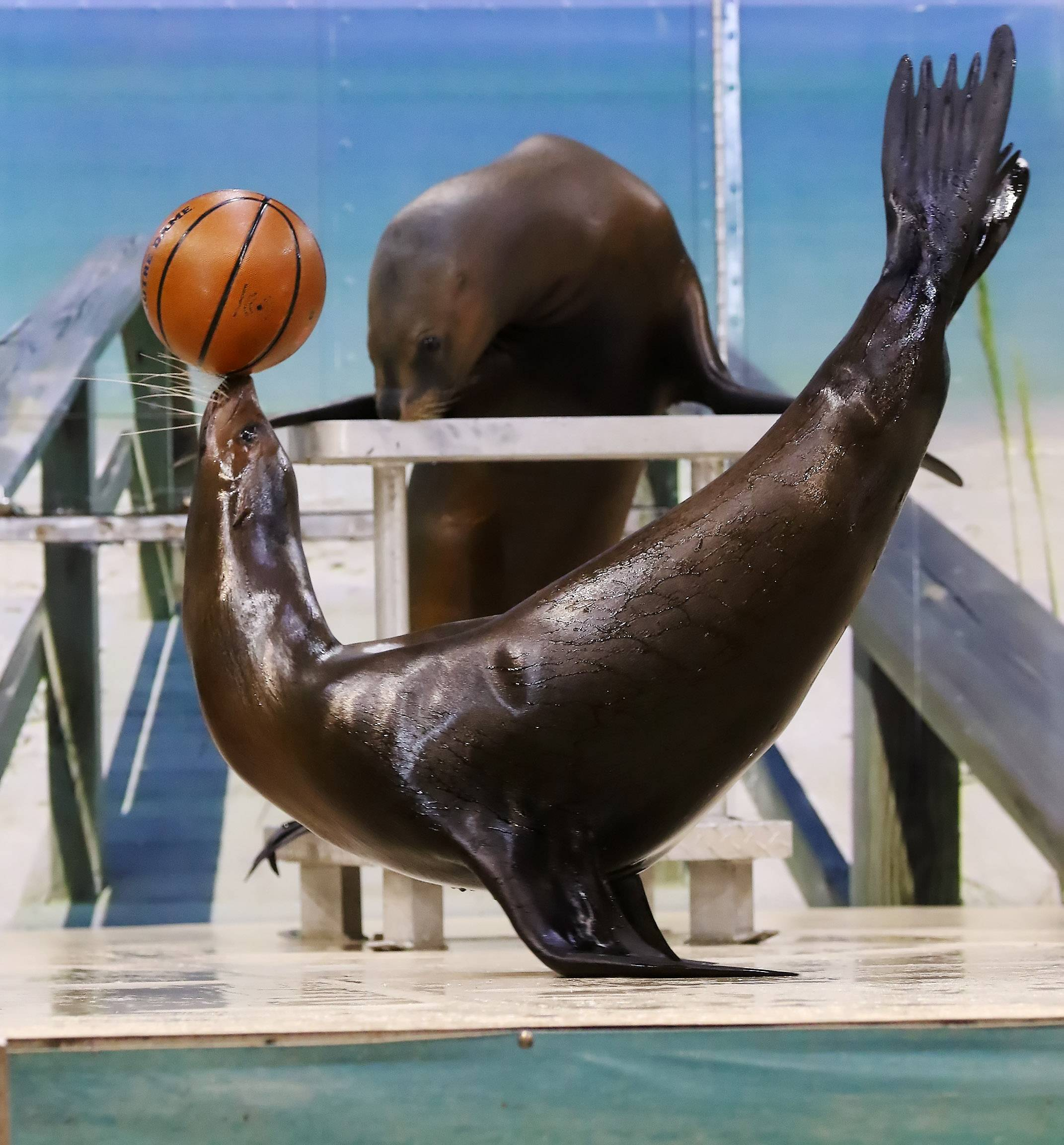 A sea lion named Zoey balances a basketball during the Sea Lion Splash show Sunday at the Aquatic Experience at Renaissance Schaumburg Convention Center.
