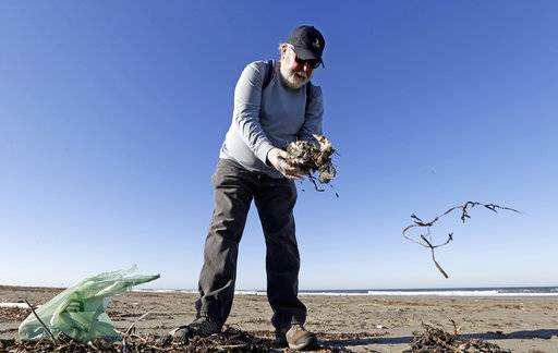 In this photo taken Sept. 28, 2017, Mike Patton picks-up and removes debris from a dead bird as part of a citizen patrol surveying dead birds that wash ashore on beaches along the U.S. West Coast, in Ocean Shores, Wash. The multi-state monitoring program help tells a larger story about coastal environments, seabird deaths and health.
