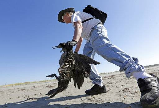 In this photo taken Sept. 28, 2017, Bob Witt picks up the remains of a Brandt's cormorant as part of a citizen patrol surveying dead birds that wash ashore on beaches along the U.S. West Coast, in Ocean Shores, Wash. The multi-state monitoring program help tells a larger story about coastal environments, seabird deaths and health.