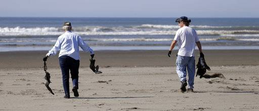 In this photo taken Sept. 28, 2017, Susan Kloeppel, left, and Bob Witt carry dead birds toward the waterline after collecting information on the animals as part of a citizen patrol surveying dead birds that wash ashore on beaches along the U.S. West Coast, in Ocean Shores, Wash. All of that information is entered into a massive database kept by the Coastal Observation and Seabird Survey Team, or COASST. The long-running citizen monitoring program at the University of Washington tracks dead seabirds as an indicator of the coastal environment's health.