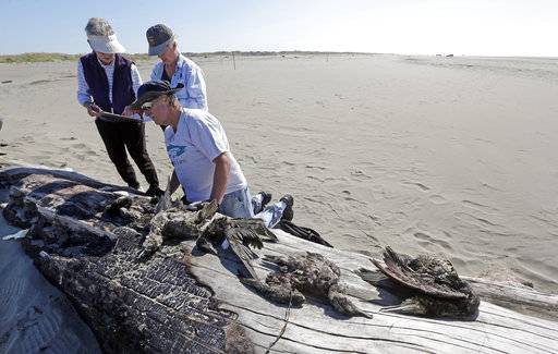In this photo taken Sept. 28, 2017, Jeanne Finke, left, Susan Kloeppel and Bob Witt begin to identify the remains of birds they collected as part of a citizen patrol surveying dead birds that wash ashore on beaches along the U.S. West Coast, in Ocean Shores, Wash. Information gathered is entered into a massive database kept by the Coastal Observation and Seabird Survey Team, or COASST. The long-running citizen monitoring program at the University of Washington tracks dead seabirds as an indicator of the coastal environment's health.