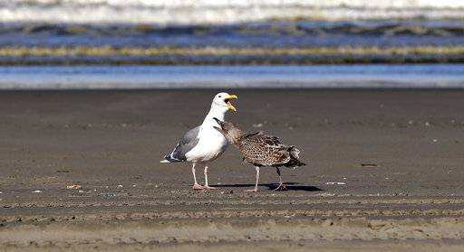 In this photo taken Sept. 28, 2017, a mature gull is bothered by a juvenile gull as they stand along the shore of the Pacific Ocean in Ocean Shores, Wash. A long-running citizen monitoring program at the University of Washington is tracking dead seabirds as an indicator of the health of the coastal environment.