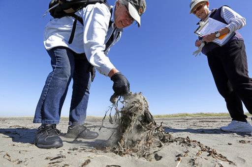 In this photo taken Sept. 28, 2017, Susan Kloeppel, left, picks up the remains of what she tentatively identified as a sooty shearwater as Jeanne Finke looks on as part of a citizen patrol surveying dead birds that wash ashore on beaches along the U.S. West Coast, in Ocean Shores, Wash. Information gathered is entered into a massive database kept by the Coastal Observation and Seabird Survey Team, or COASST. The long-running citizen monitoring program at the University of Washington tracks dead seabirds as an indicator of the coastal environment's health.