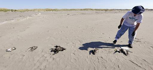 In this photo taken Sept. 28, 2017, Bob Witt looks over the dead birds he helped collect as part of a citizen patrol surveying dead birds that wash ashore on beaches along the U.S. West Coast, in Ocean Shores, Wash. A long-running citizen monitoring program at the University of Washington is tracking dead seabirds as an indicator of the health of the coastal environment.