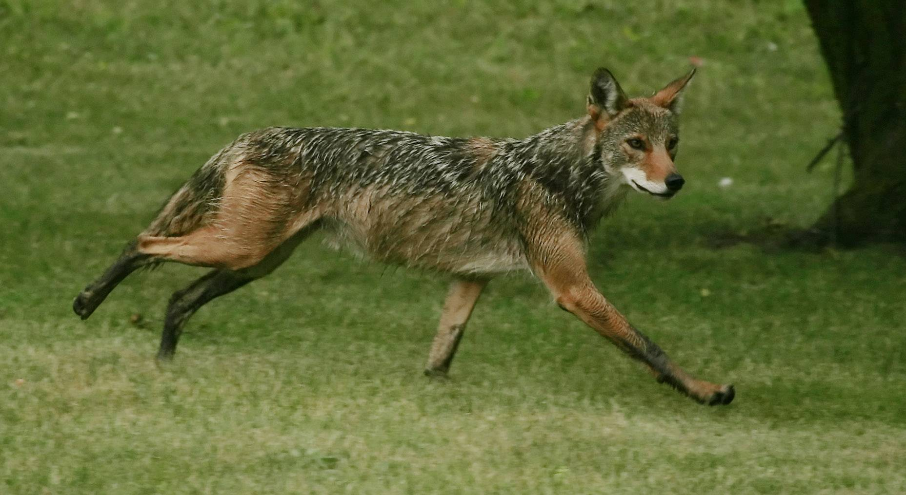 One dog was killed and another injured in a coyote attack that happened while the canines were unattended in the backyard of a home near Deer Grove Forest Preserve, Palatine police said.