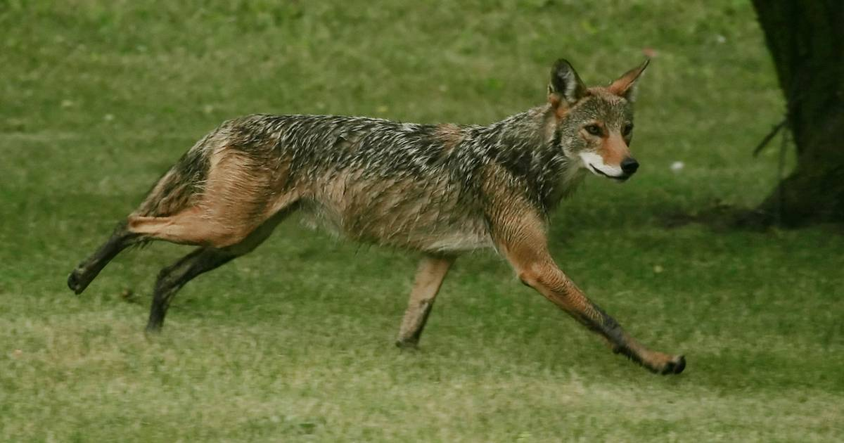 Coyote Kills 1 Dog Injures Another Canine In Palatine