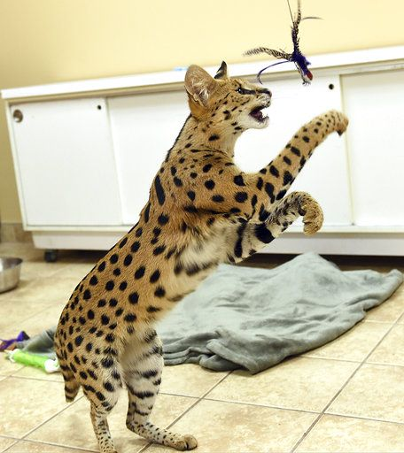 Big cheetah-like feline captured in Pennsylvania