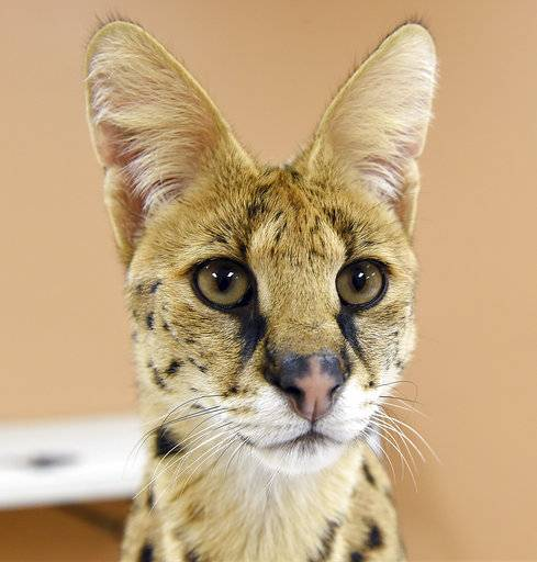 This Nov. 7, 2017 photo shows an African Serval cat rescued from the streets of Reading, Pa., by the Animal Rescue League of Berks County.    Police captured the big African cat, resembling a cheetah, running loose through the streets.  The cat was transported to a big cat rescue facility that can give it the special diet and extensive exercise it needs.   ( Tim Leedy/Reading Eagle via AP)