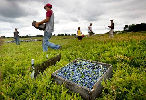 FILE - In this Friday, July 27, 2012, file photo, workers harvest wild blueberries at the Ridgeberry Farm in Appleton, Maine. A trade group said the state's wild blueberry crop fell sharply during the summer of 2017, to land below 100 million pounds for the first time in four years. (AP Photo/Robert F. Bukaty, File)