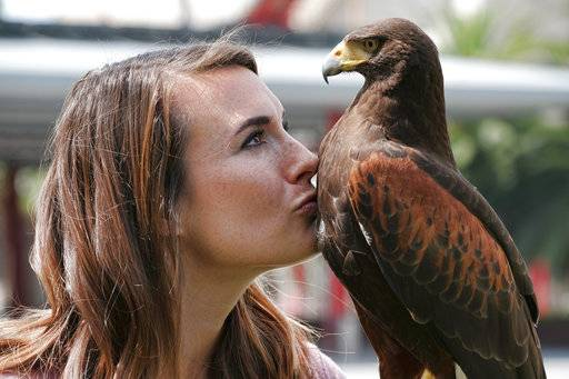 "In this April 7, 2017 photo falconer Alyssa Bordonaro gives a kiss to Dany her Harris's Hawk during a day at work at the Museum of Modern Art in Los Angeles. Known as ""The Hawk Pros"" husband-and-wife falconers Alyssa and Mike Bordonaro and their birds of prey are hired guns, brought in to scare away seagulls, pigeons and other ""pest birds"" that create nuisances and leave behind messes. The Bordonaros have about a dozen clients, from a recycling center in the agricultural city of Oxnard to the Los Angeles County Museum of Art and downtown Los Angeles' U.S. Bank Tower. (AP Photo/Richard Vogel)"