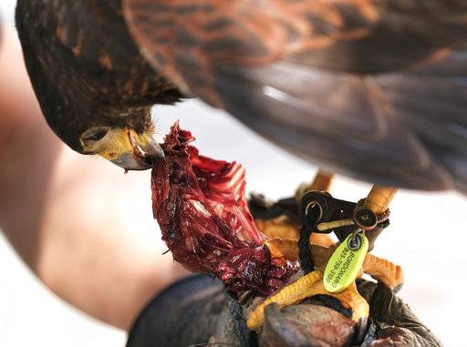 "In this March 16, 2017 photo falconer Mike Bordonaro gives his Harris's hawk, Riley, a treat during a scheduled abating session outside the U.S. Bank Tower in downtown Los Angeles. Known as ""The Hawk Pros."" husband-and-wife falconers Alyssa and Mike Bordonaro and their birds of prey are hired guns, brought in to scare away seagulls, pigeons and other ""pest birds"" that create nuisances and leave behind messes. The Bordonaros have about a dozen clients, from a recycling center in the agricultural city of Oxnard to the Los Angeles County Museum of Art and downtown Los Angeles' U.S. Bank Tower."