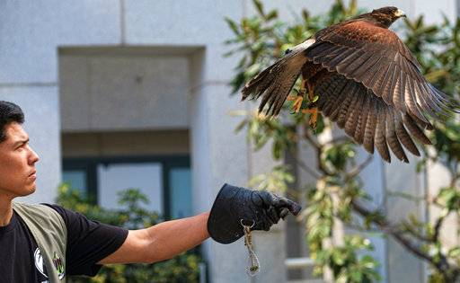 "This March 16, 2017 photo shows falconer Mike Bordonaro releases Riley, his Harris's hawk, outside the U.S. Bank Tower in downtown Los Angeles. Known as ""The Hawk Pros"" husband-and-wife falconers Alyssa and Mike Bordonaro and their birds of prey are hired guns, brought in to scare away seagulls, pigeons and other ""pest birds"" that create nuisances and leave behind messes. The Bordonaros have about a dozen clients, from a recycling center in the agricultural city of Oxnard to the Los Angeles County Museum of Art and downtown Los Angeles' U.S. Bank Tower."
