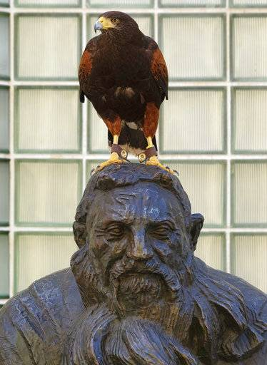 "In this April 7, 2017 photo, Dany a Harris's Hawk perches on a statue during her day of work scaring away pesky birds around the grounds at the Museum of Modern Art in Los Angeles. Alyssa and Mike Bordona are ""The Hawk Pros."" They and their birds of prey are hired guns, brought in to chase away seagulls, pigeons and other ""pest birds"" that create nuisances and leave behind messes."