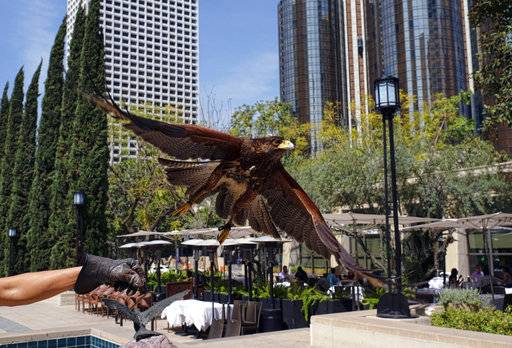 In this March 16, 2017 photo a Harris's hawk named Riley is released by his owner Mike Bordonaro outside the Los Angeles Public Library in downtown Los Angeles. Riley soars between high rises in downtown Los Angeles. Smaller birds take notice and take flight. Riley lands on a branch, surveys the concrete jungle below and swoops down to land on the gloved hand of her owner.