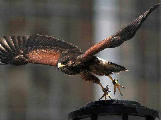In this March 16, 2017 photo a Harris's hawk named Riley, takes off from a street lamp outside of the U.S. Bank Tower in downtown Los Angeles. Riley soars between high rises in downtown Los Angeles. Smaller birds take notice and take flight. Riley lands on a branch, surveys the concrete jungle below and swoops down to land on the gloved hand of her owner.