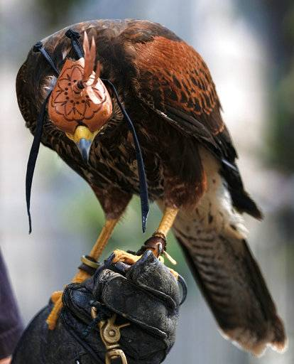 "In this March 16, 2017 photo falconer Mike Bordonaro keeps his Harris's Hawk named Riley, covered in a hood to keep him calm in downtown Los Angeles. Known as ""The Hawk Pros"" husband-and-wife falconers Alyssa and Mike Bordonaro and their birds of prey are hired guns, brought in to scare away seagulls, pigeons and other ""pest birds"" that create nuisances and leave behind messes. The Bordonaros have about a dozen clients, from a recycling center in the agricultural city of Oxnard to the Los Angeles County Museum of Art and downtown Los Angeles' U.S. Bank Tower."