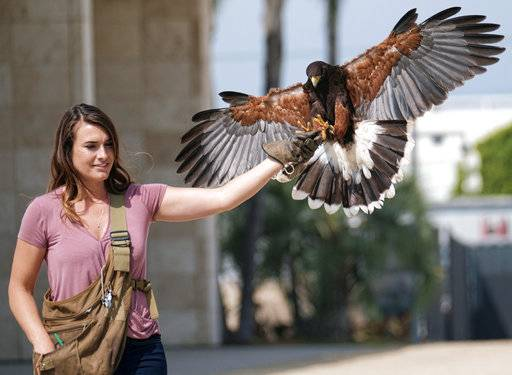 "This April 7, 2017 photo shows falconer Alyssa Bordonaro releasing her Harris's hawk named Dany at the Museum of Modern Art in Los Angeles. Alyssa, 30, says pest birds are able to thrive in metropolitan areas because they feel safe there. ""They need shelter, food and water, and they're finding it in these false environments basically that have sprinklers and fountains and food 24/7, but they're also using the humans as a shield against the predators who are too scared to come in,� she says."