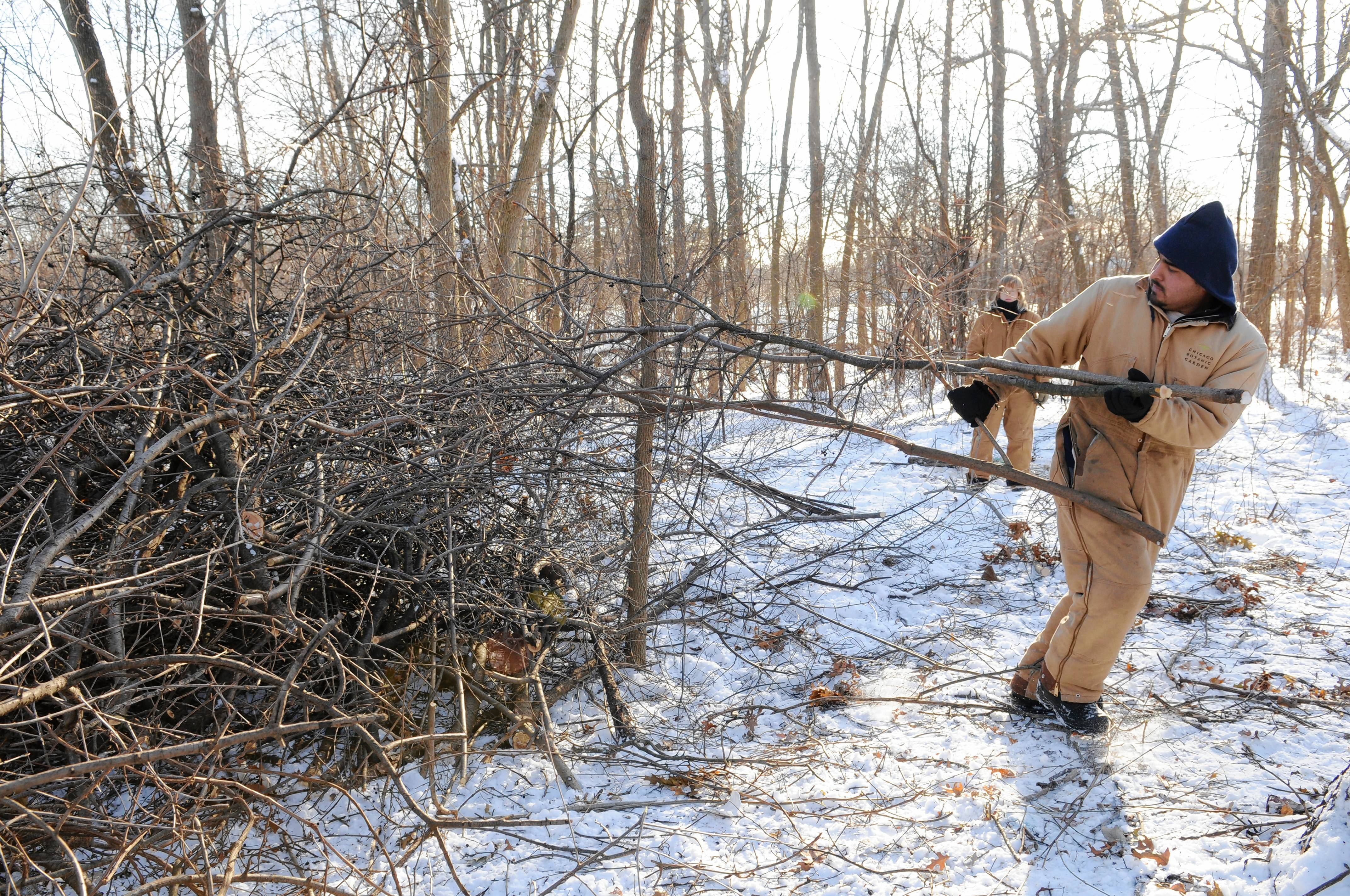 Invasive buckthorn trees grow up wildly next to native species and should be thinned out of your yard.