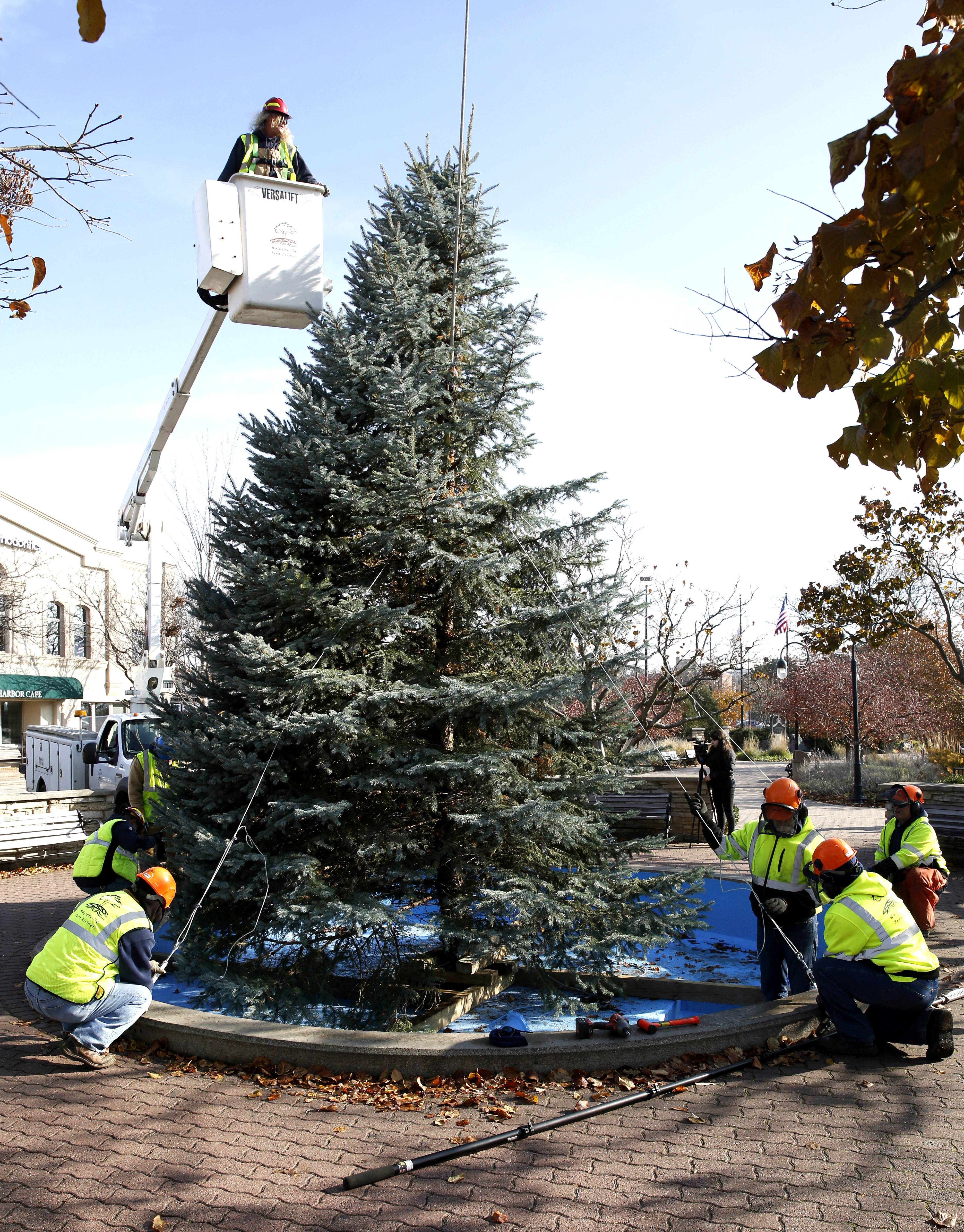 A Naperville Park District crew places the city's Christmas tree in the Dandelion Fountain along the downtown Riverwalk. The 21-foot-tall blue spruce will be lighted after Thanksgiving.